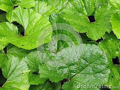 Burdock leafs