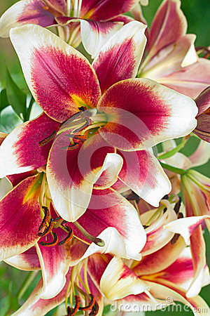 Free Burgundy Lilies Flowers In A Garden Royalty Free Stock Image - 49663226