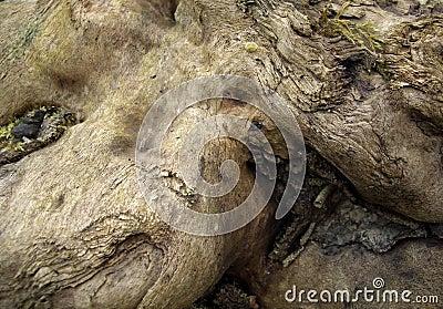 Burl wood closeup