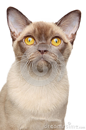 Burma cat portrait on white background