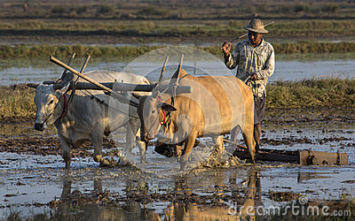 Burmese Agriculture - Hiegu Paddy Fields - Myanmar Editorial Photo