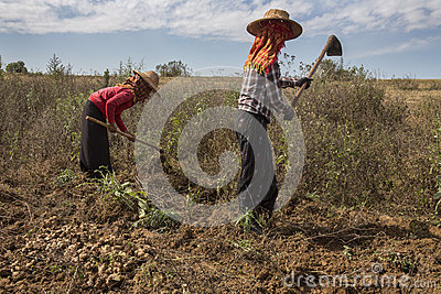 Agriculture burmese women working in the fields on farmland near