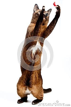 Burmese Cat Playing