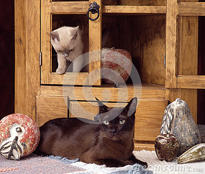 Burmese Cats Stock Photo Image 32579600