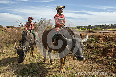 Burmese Children - Water Buffalo - Myanmar (Burma) Editorial Stock Image