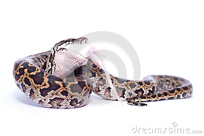 Isolated burmese python (molurus bivittatus) eats rat