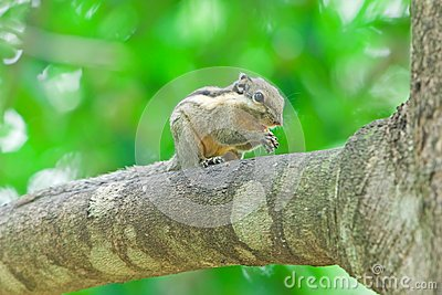 Burmese Stripe Squirrel