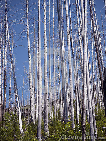 Burned down Aspen forest