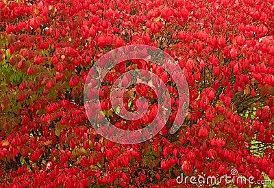 Burning bush shrub