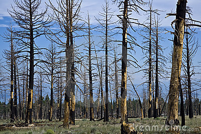 Burnt trees.