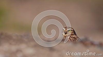 Burrowing κρύβοντας κουκουβάγια