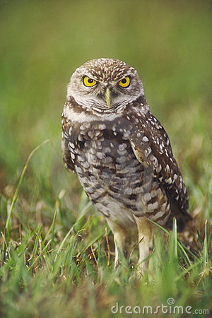 Free Burrowing Owl Royalty Free Stock Photo - 1130185