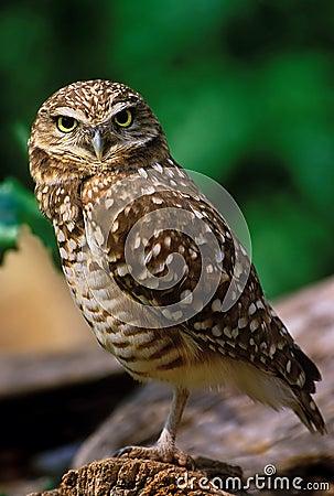 Free Burrowing Owl Royalty Free Stock Image - 454646