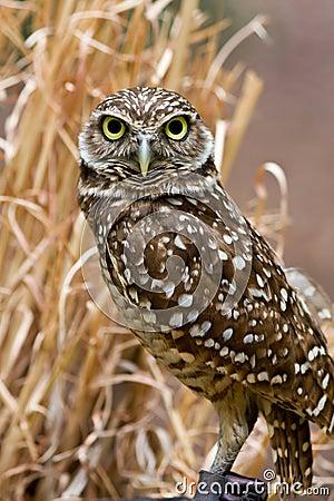 Free Burrowing Owl Stock Photos - 5087103