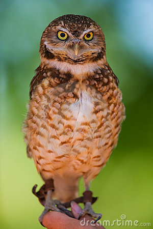 Free Burrowing Owl Stock Images - 5334904