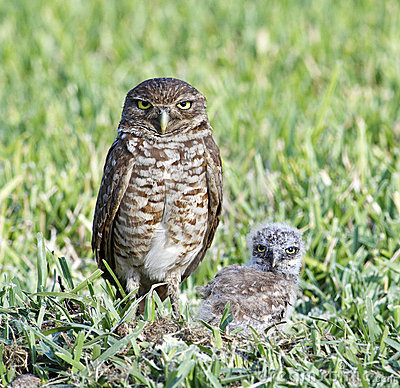 Free Burrowing Owl And Baby Royalty Free Stock Photos - 13165848