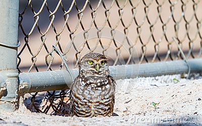 Burrowing Owl by Fence