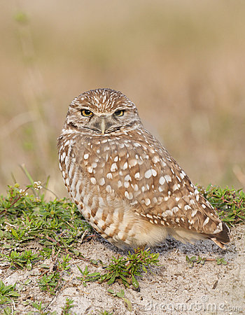 Burrowing Owl on sand