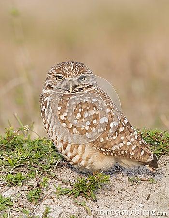 Burrowing Owl on sand