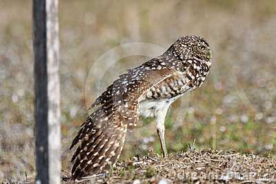Burrowing Owls in Cape Coral, Florida