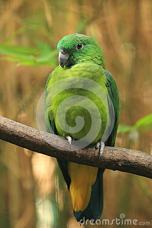 Buru racket-tail parrot