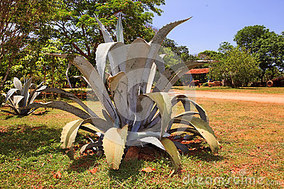 Bush of a blue agave