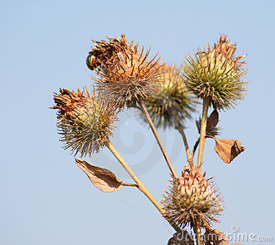 Bush of a burdock 2