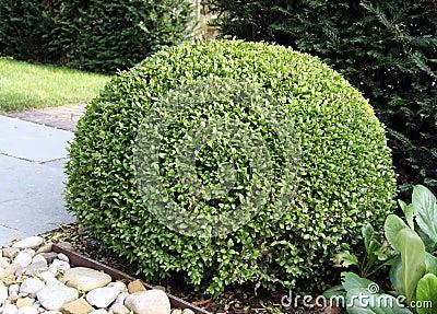 Bush Buxus (Buxus)