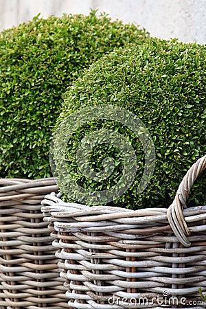Free Bush Buxus (Buxus) Royalty Free Stock Photos - 8927078