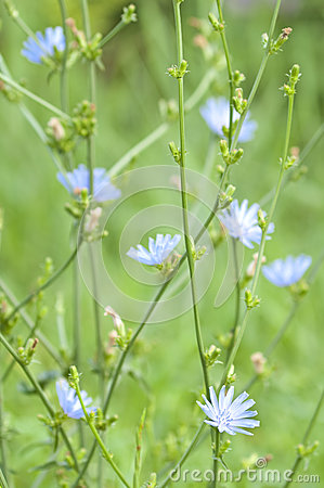 Bush of chicory