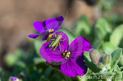 Bush-cricket on violet flower