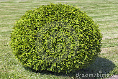 Bush of cypress, cut in form of a  sphere
