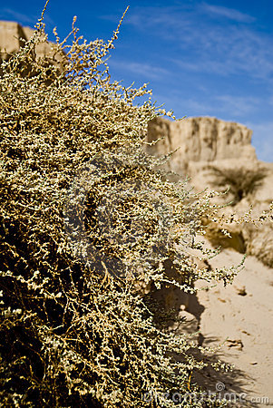 Bush in desert