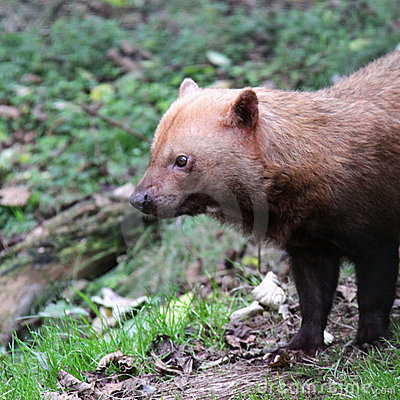 Bush dog profile close up