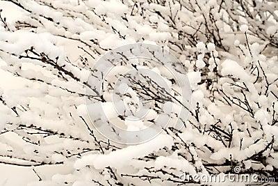 Bush of a dwarf polar birch, background