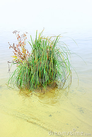 Bush of grass ashore lake