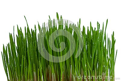 Bush of green grass
