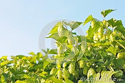 Bush hops