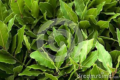 Bush of laurel leaves