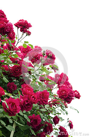 Free Bush Of Roses Royalty Free Stock Photo - 73134825