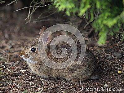 Bush rabbit