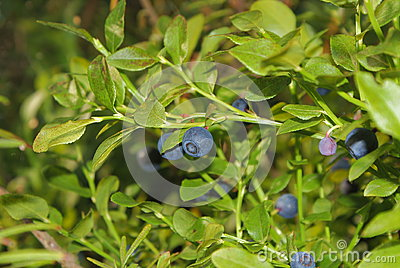 A bush with ripe blueberries