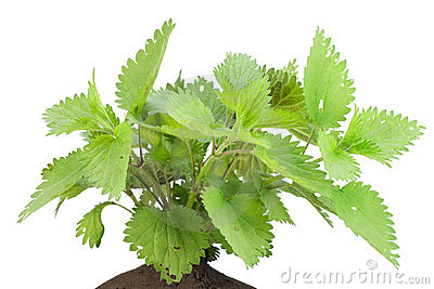Bush of a stinging European nettle