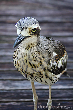 Bush Stone Curlew Bird Species