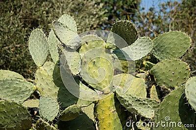 Bush of tzabar cactus, or prickly pear (Opuntia fi
