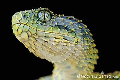 Bush viper / Atheris squamigera