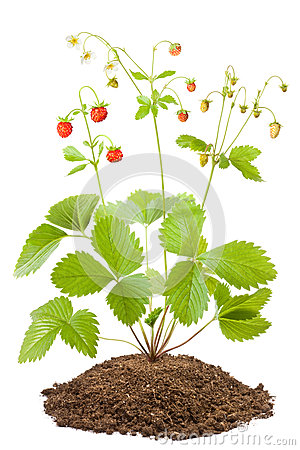 Bush of wild strawberries