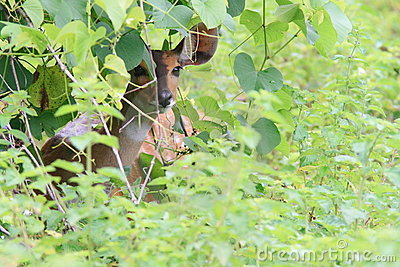 Bushbuck hiding from predators on savanna