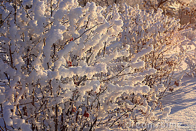 Bushes of a barberry with berries  in a snow