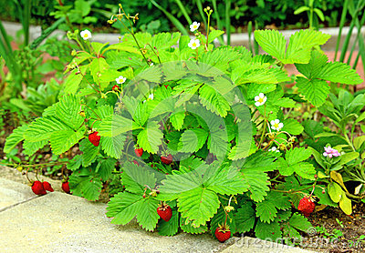 Bushes of wild strawberry